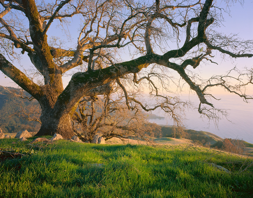 """Coastal Oak"" - Massive live oak trees make for a perfect evening along the central California Coast.   Prints Available"