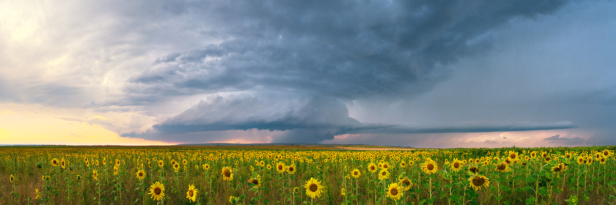 Sunflower Storm Panorama