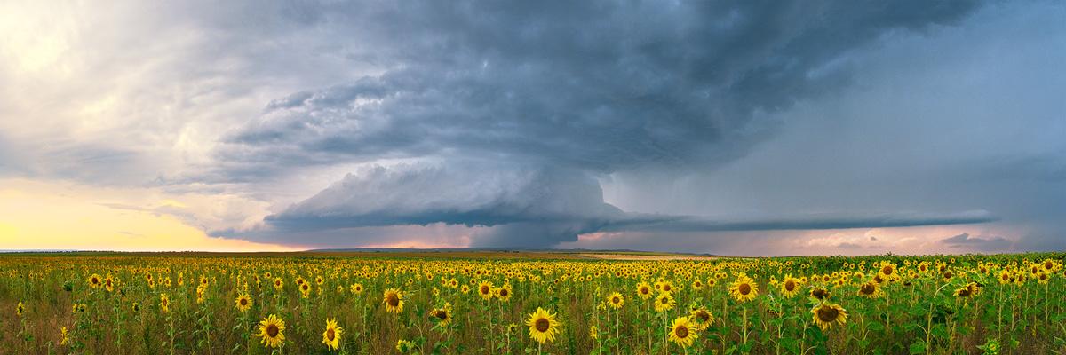 Sunflower Storm Panorama