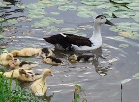 maude swims with babies.png