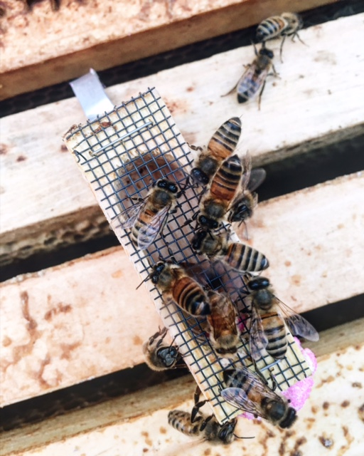 """""""Bees """"bounding"""" with their queen as she has recently traveled with them in the bee package (initial purchased colony). A little cage plugged with a cork held the queen and two bees attending to her needs. Upon arrival in the hive the cork will be replaced by a candy. Her cage hanged in a frame of the nursery box allows for acclimating time as she will eat her way out of it into her new home."""""""