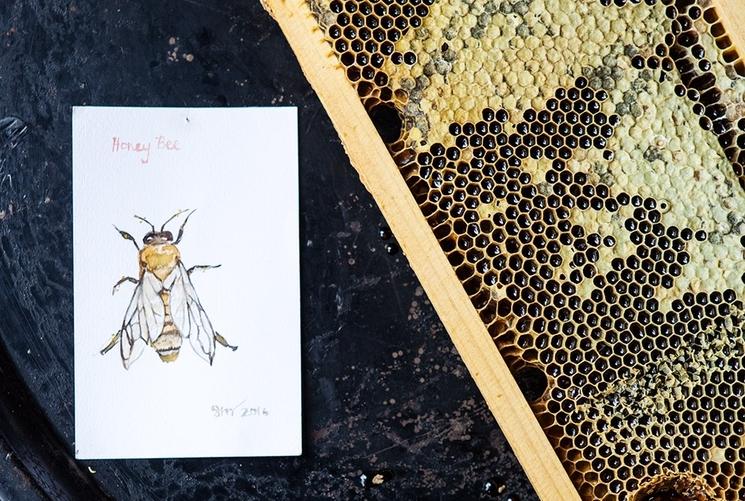 """Our honey bee (  Apis mellifera ) studied by artist  Sara Moffat  """