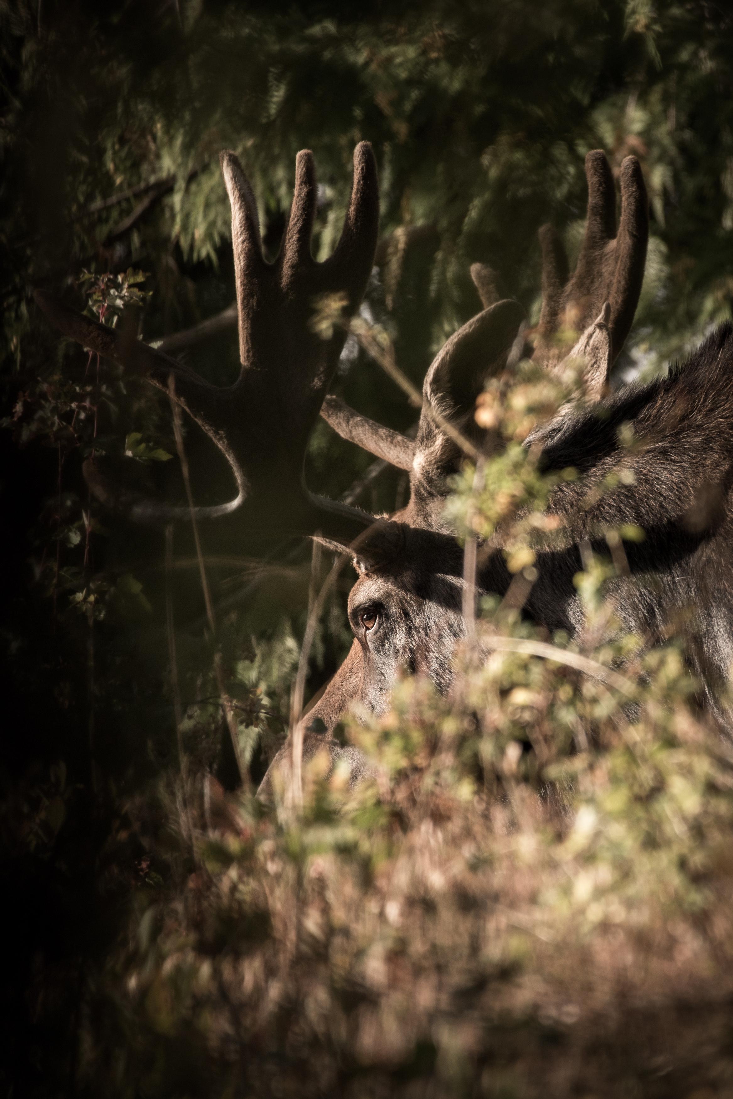 Bull Moose - Eye Contact