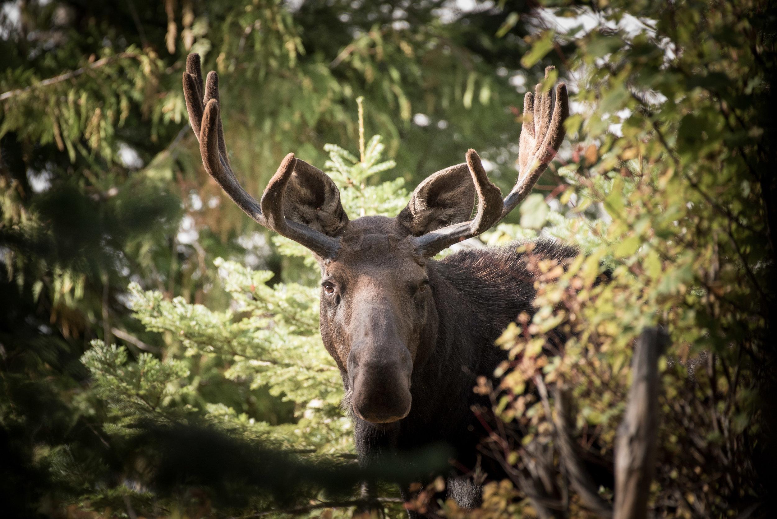 Bull Moose - Window in the Woods