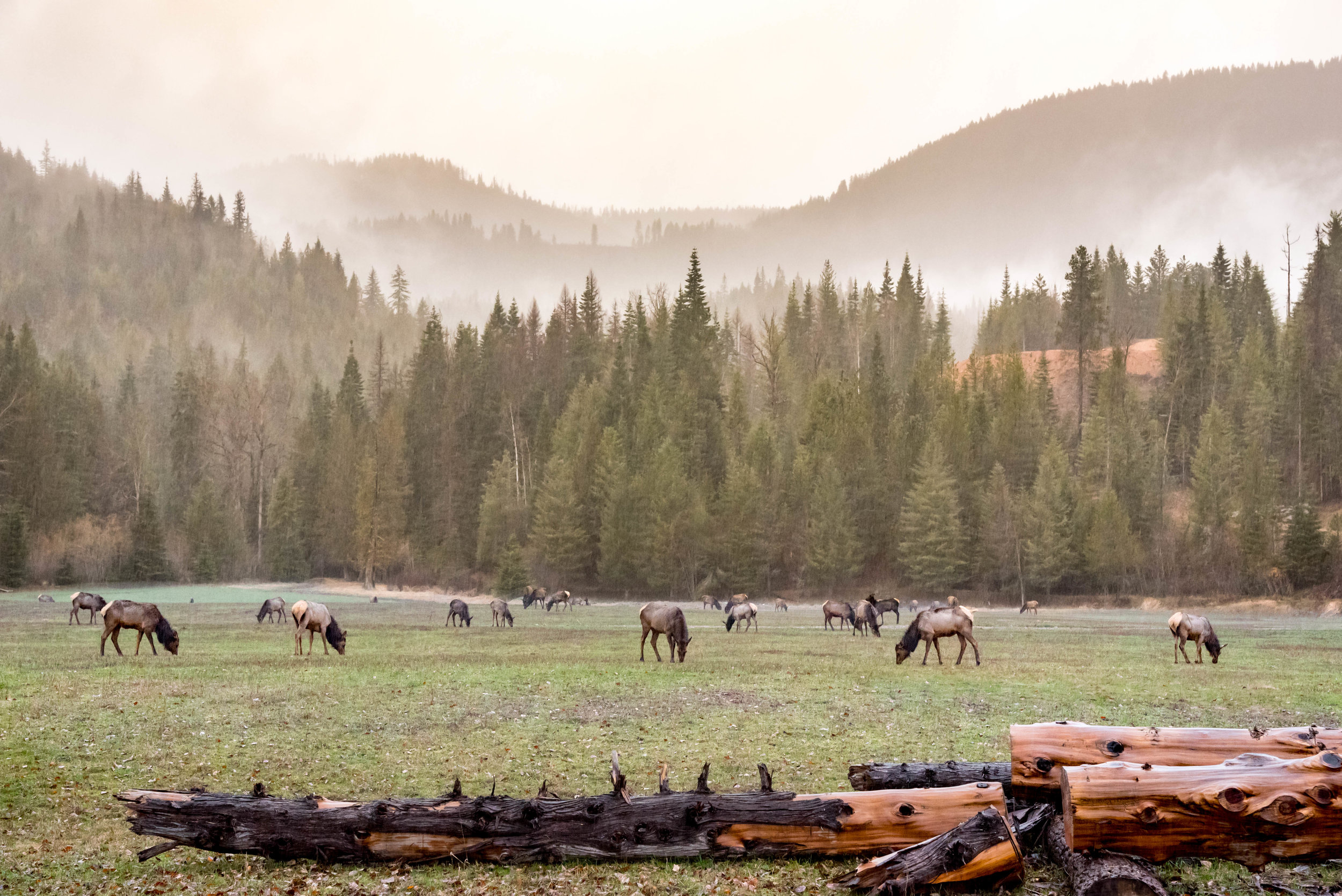 Rainy Morning Elk