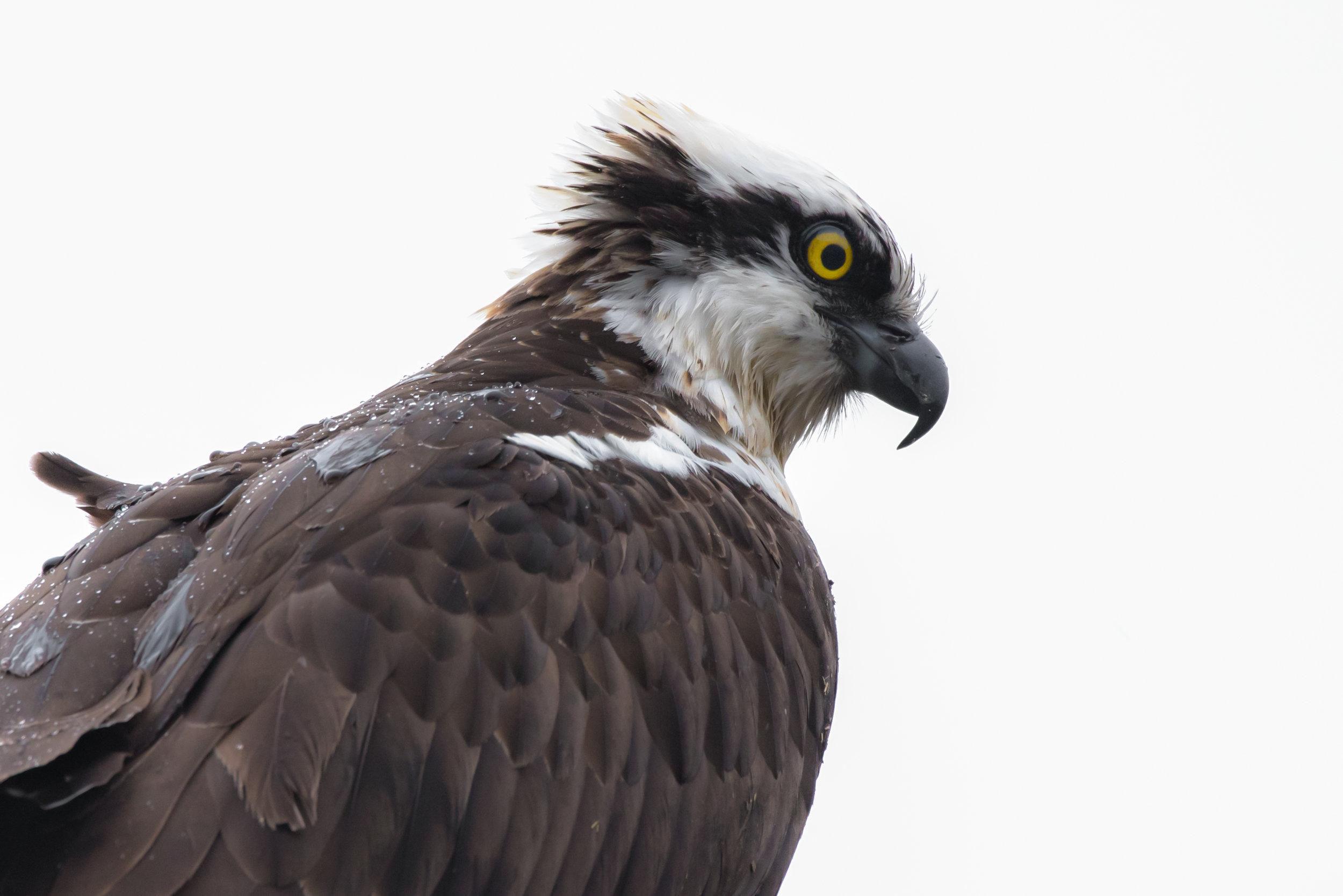 Osprey Portrait (Close Up)