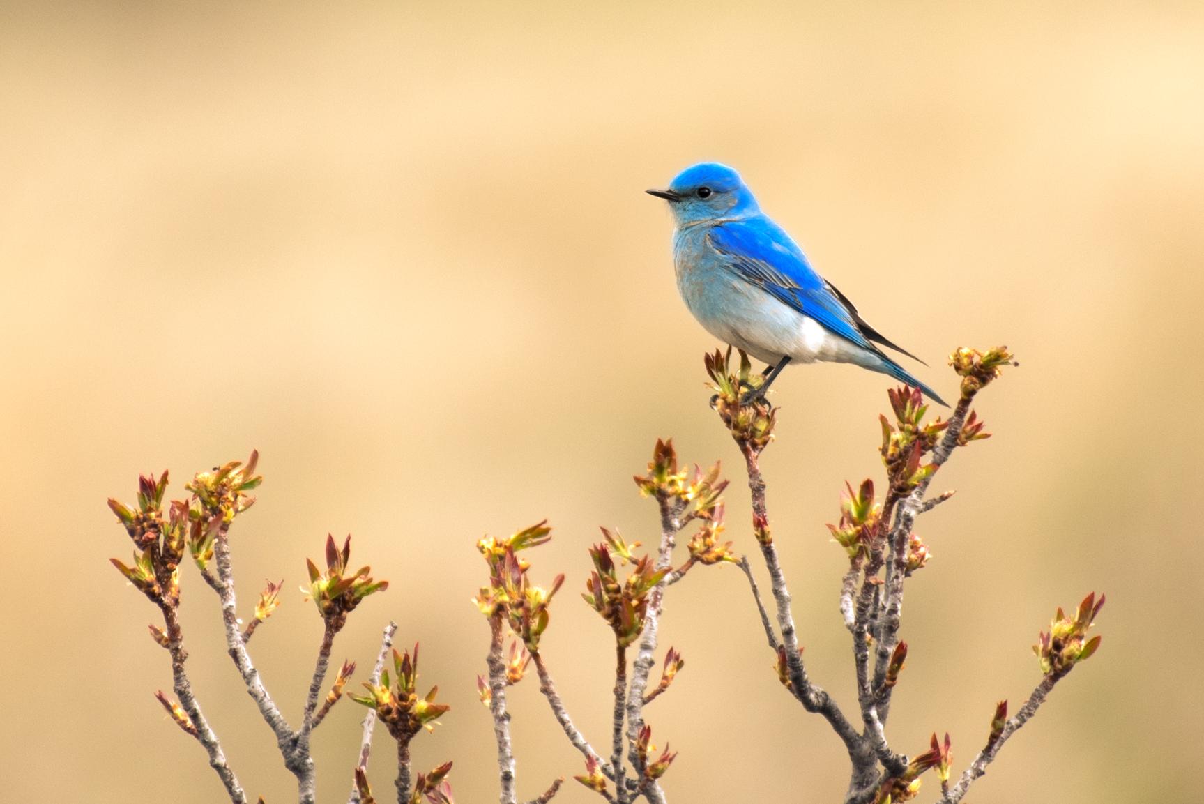 Montana Bluebird