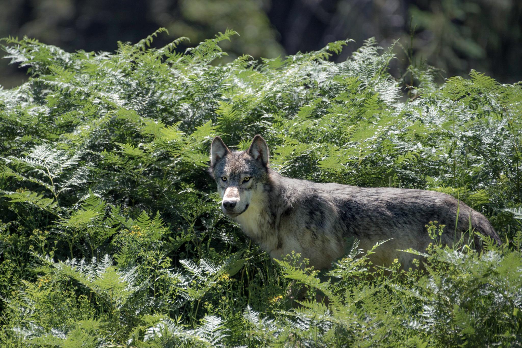 Idaho Grey Wolf