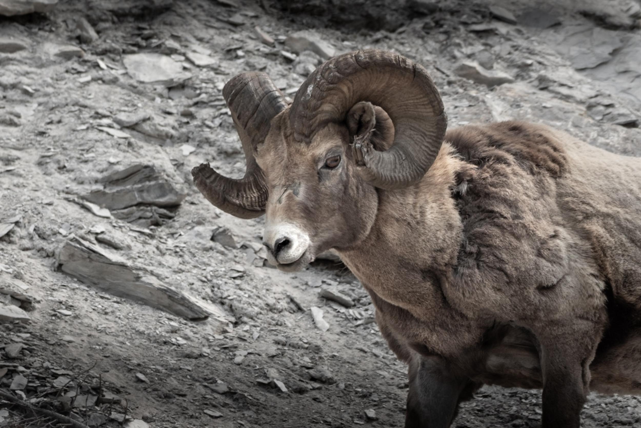 Old Alberta Ram