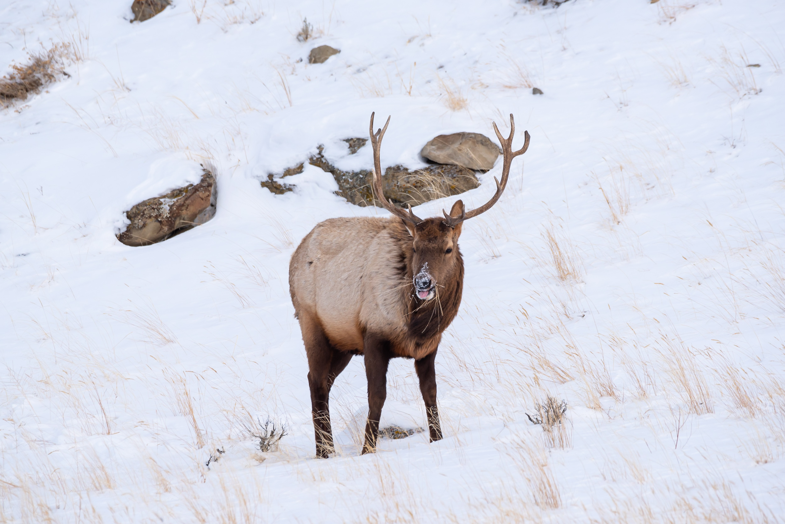 Young Winter Bull Elk
