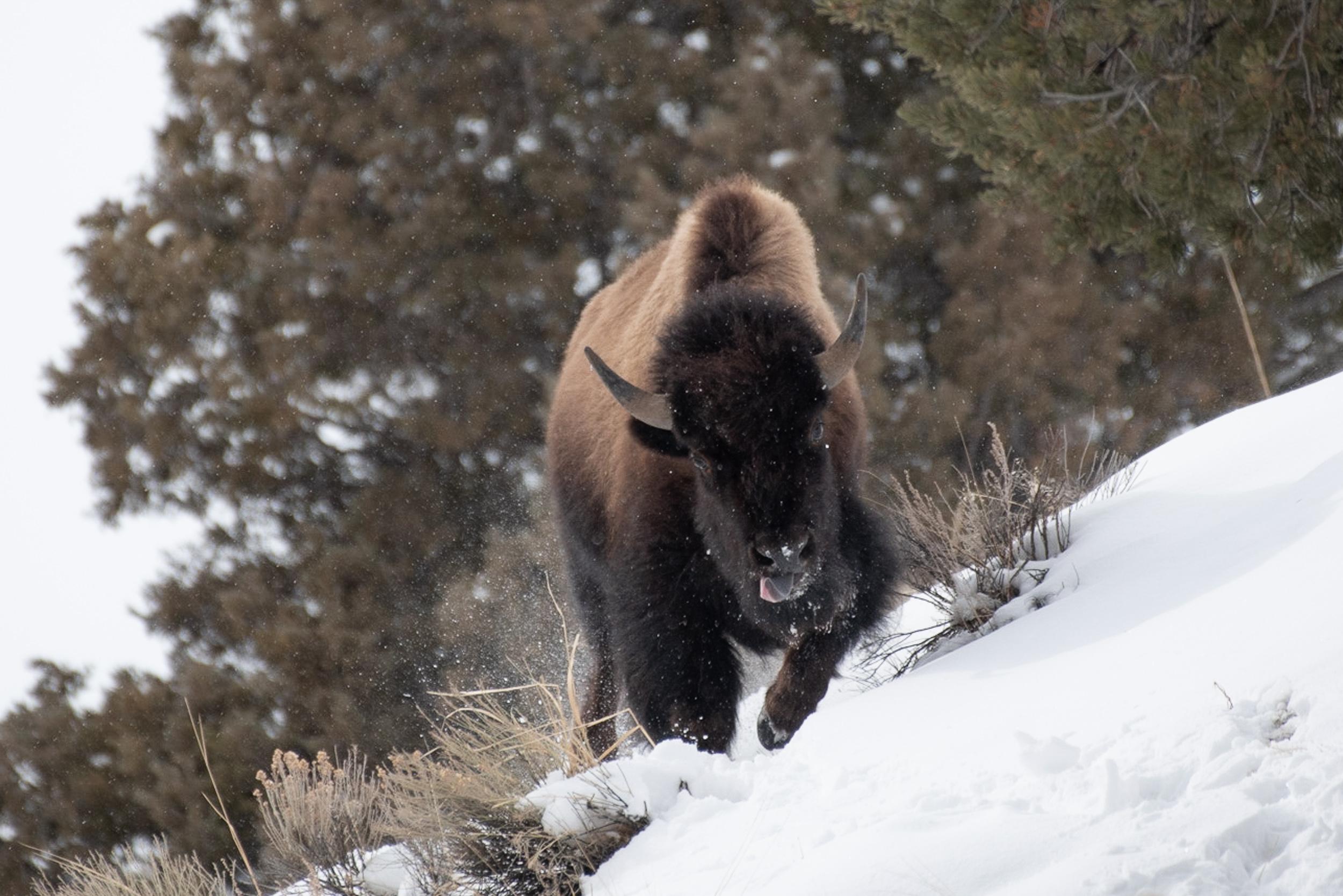 The Jordan Bison
