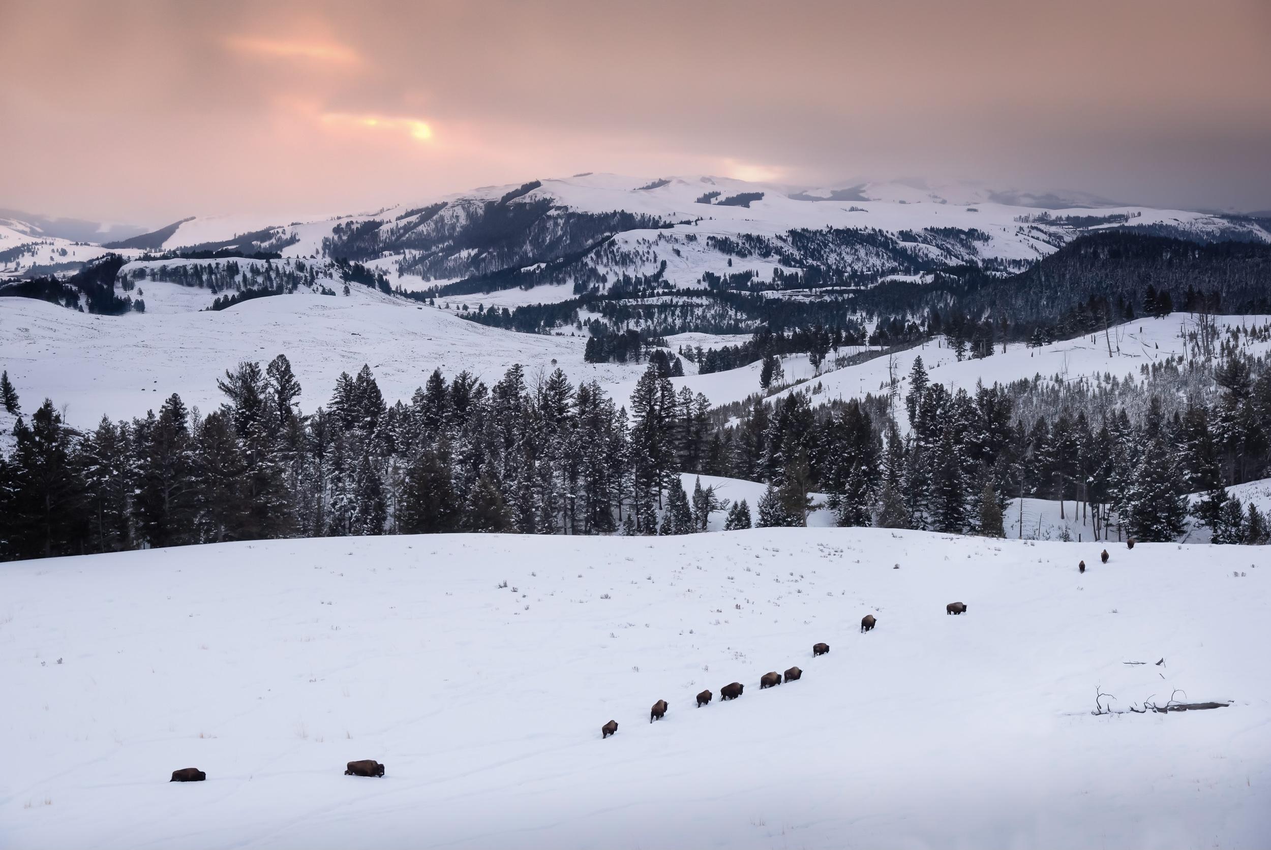 Yellowstone Morning Shuffle