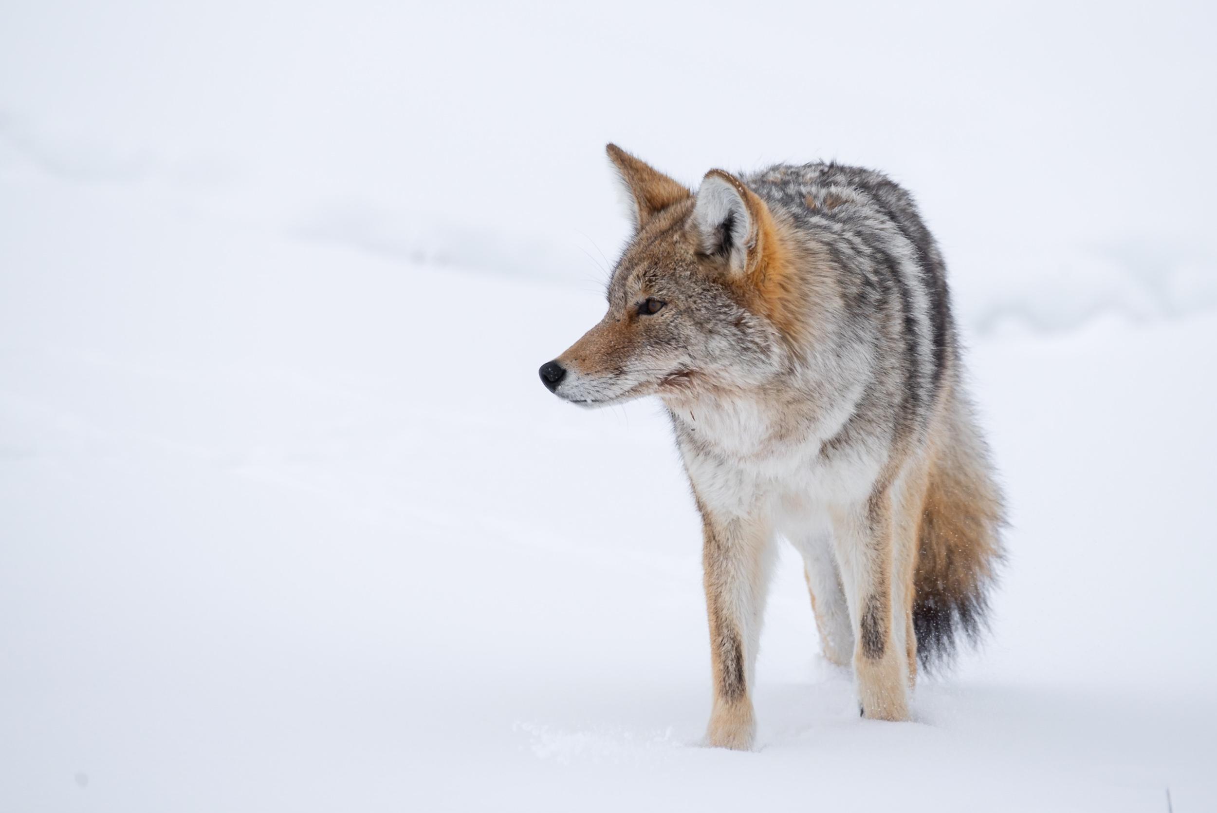 Coyote Winter Squint