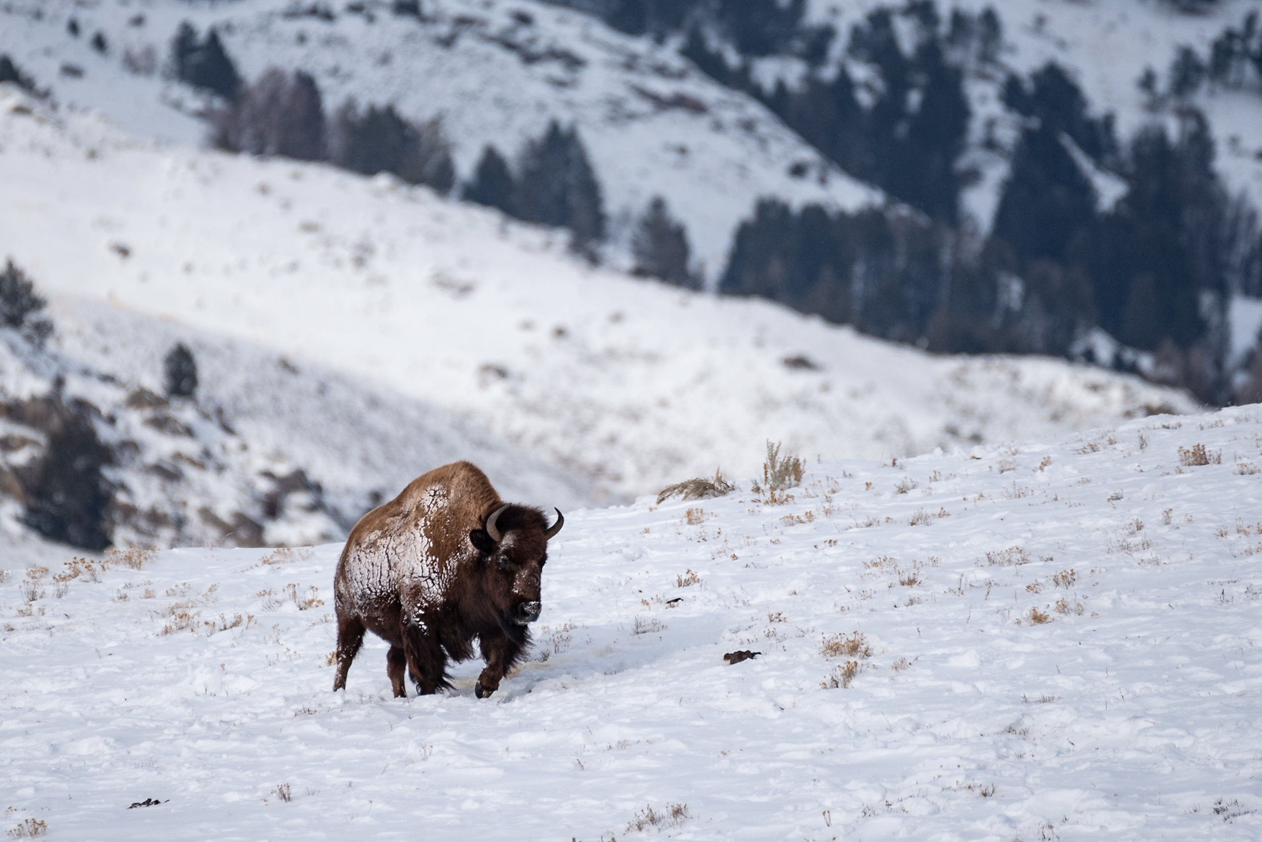 Bison on the Breeze