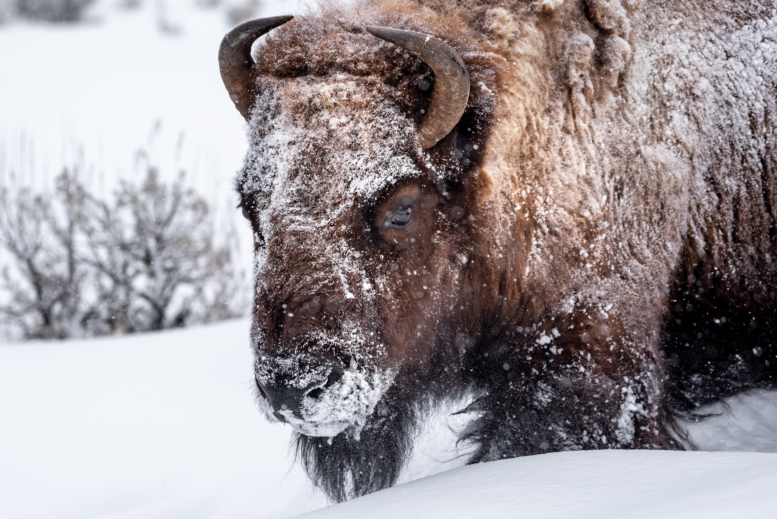 Snowy Bison Portrait