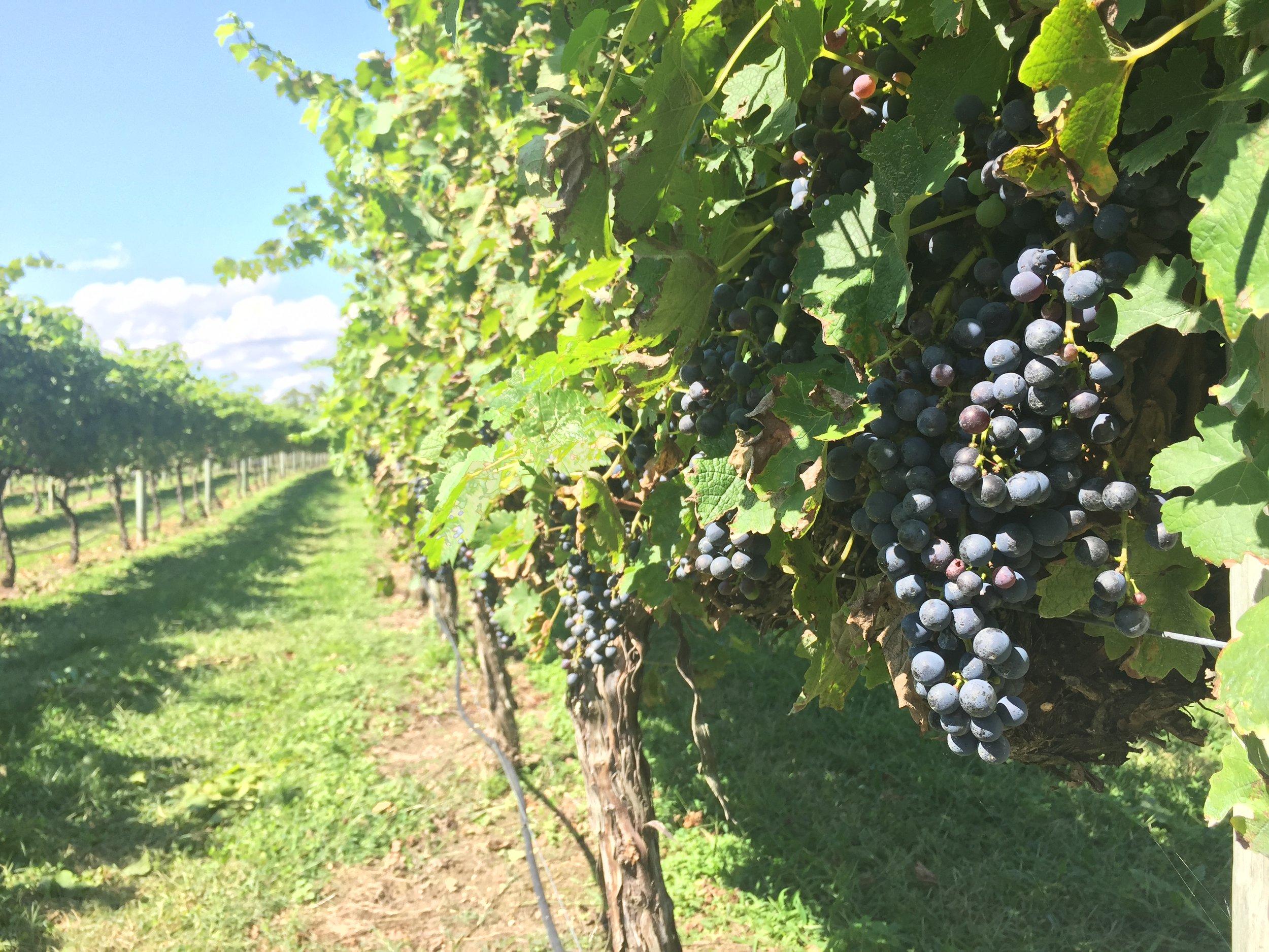 Cape May Vineyards, Cape May, NJ
