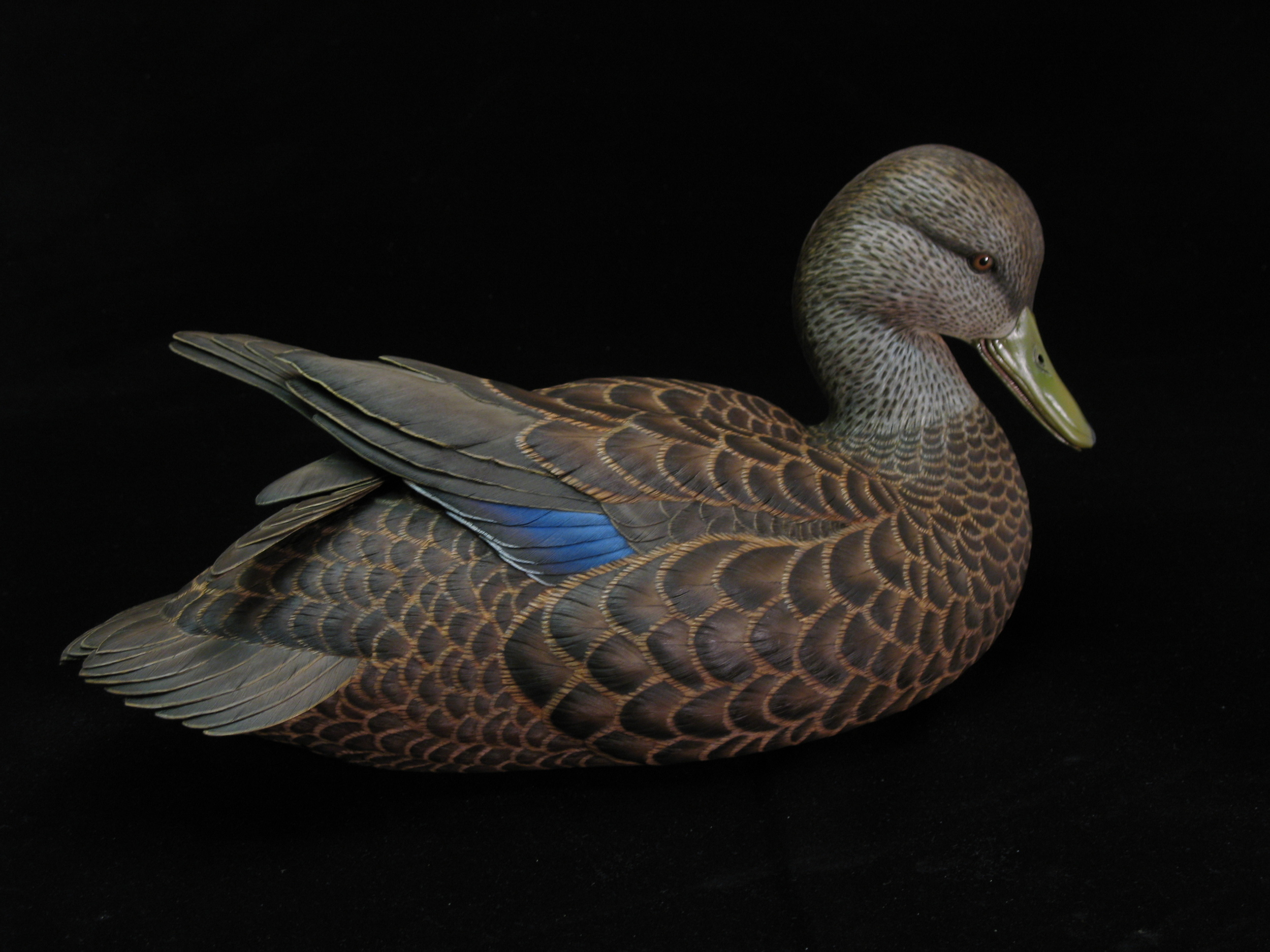 American Black Duck, Life-sized, ♂