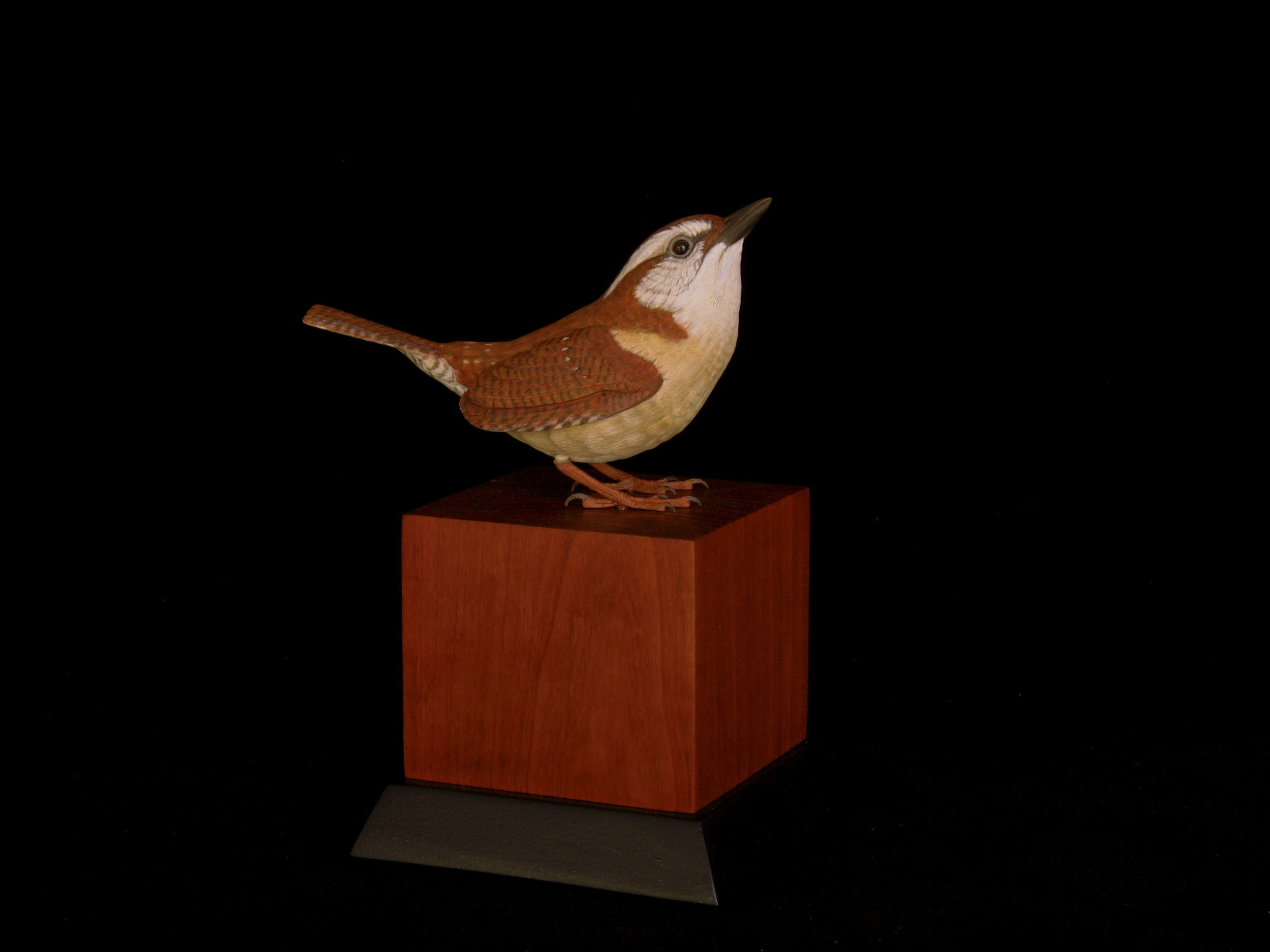Carolina Wren, Life-sized, ♂