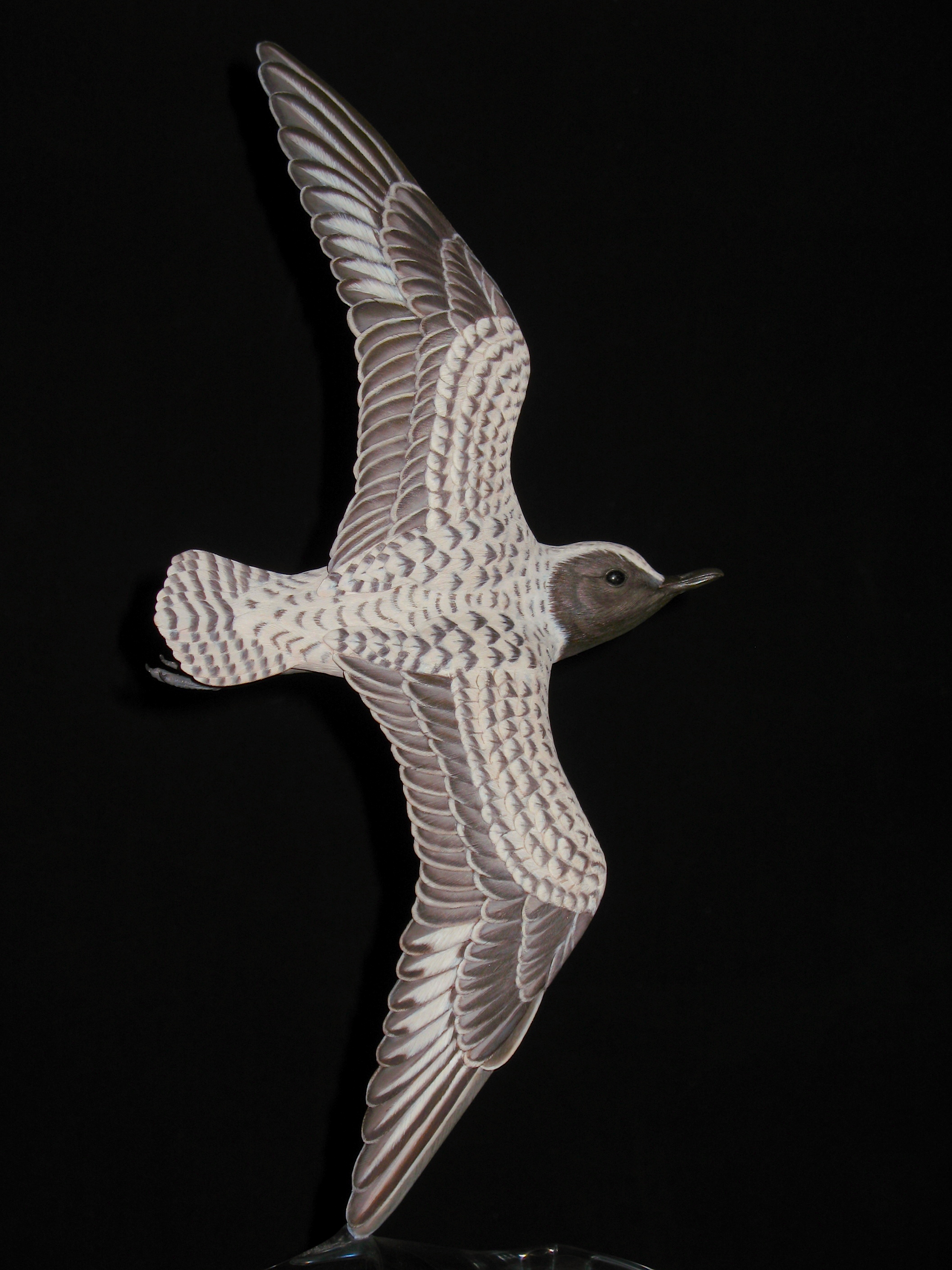 """Plover Flight in Black & White"", Black-bellied Plover, Life-sized, ♂"