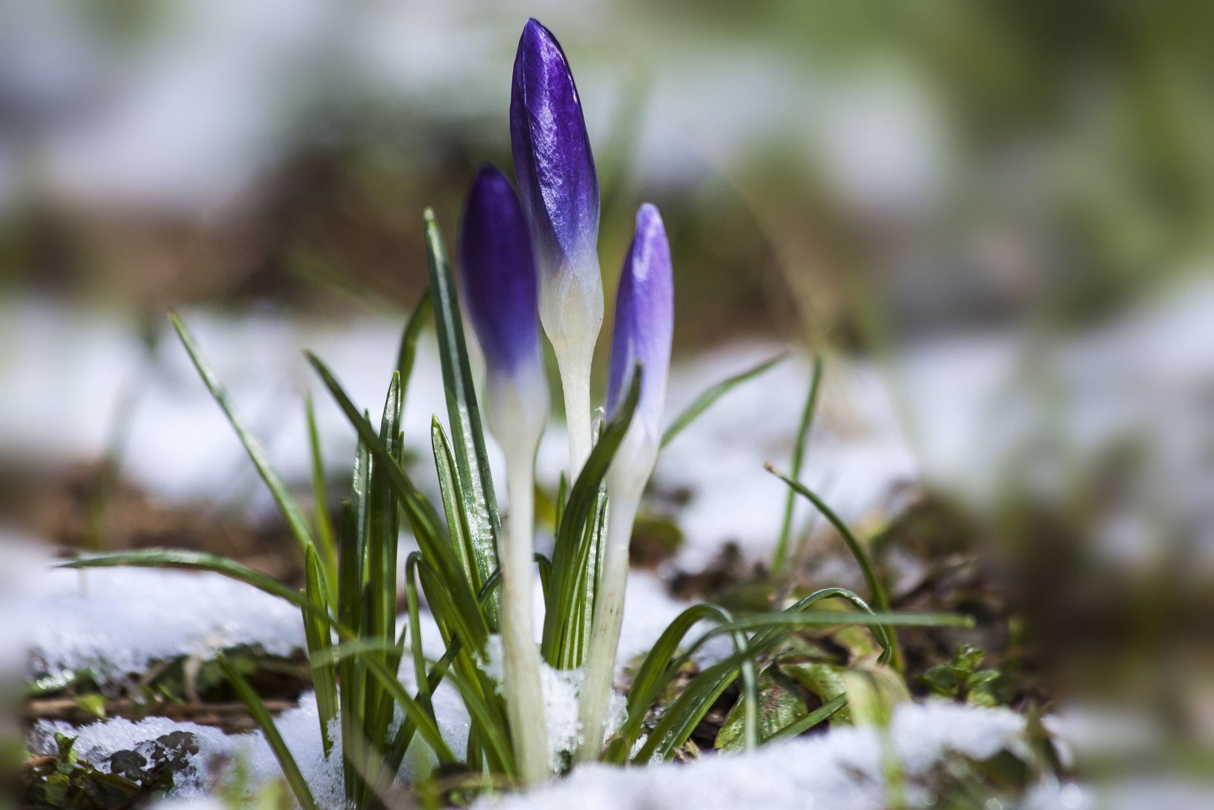 crocuses-in-snow.jpg