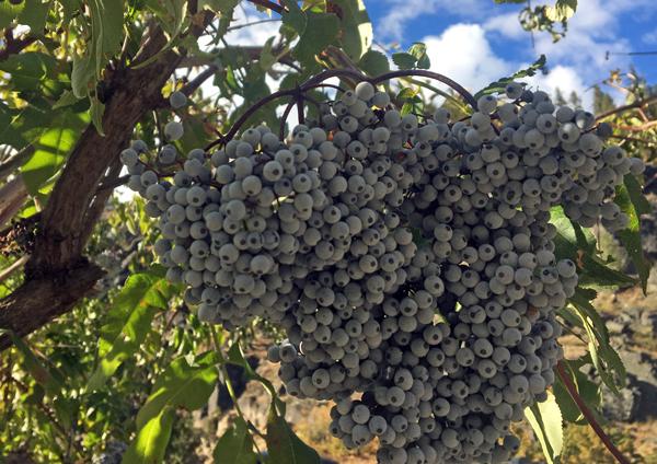 Blue Elderberry (Sambucus Cerulea) fruits hanging heavy!