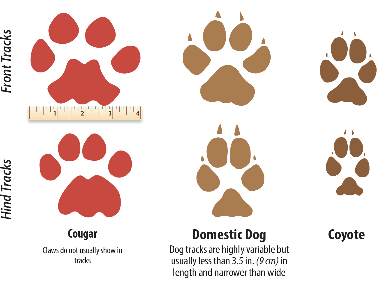 A great little chart from westernwildlife.org showing the difference between Cougar, D.D. and Coyote Tracks