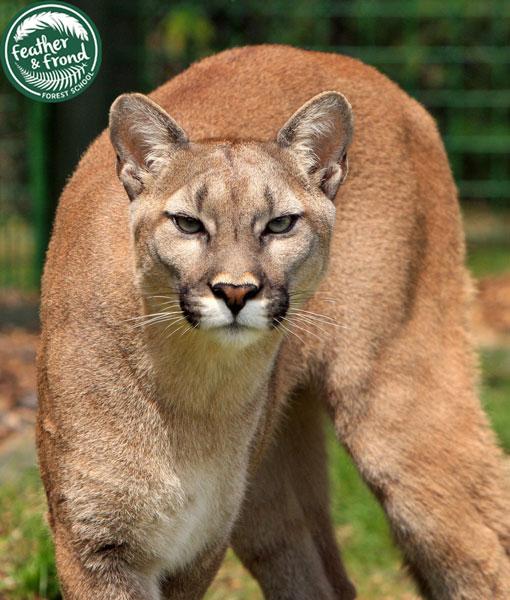 Puma concolor... FIERCE