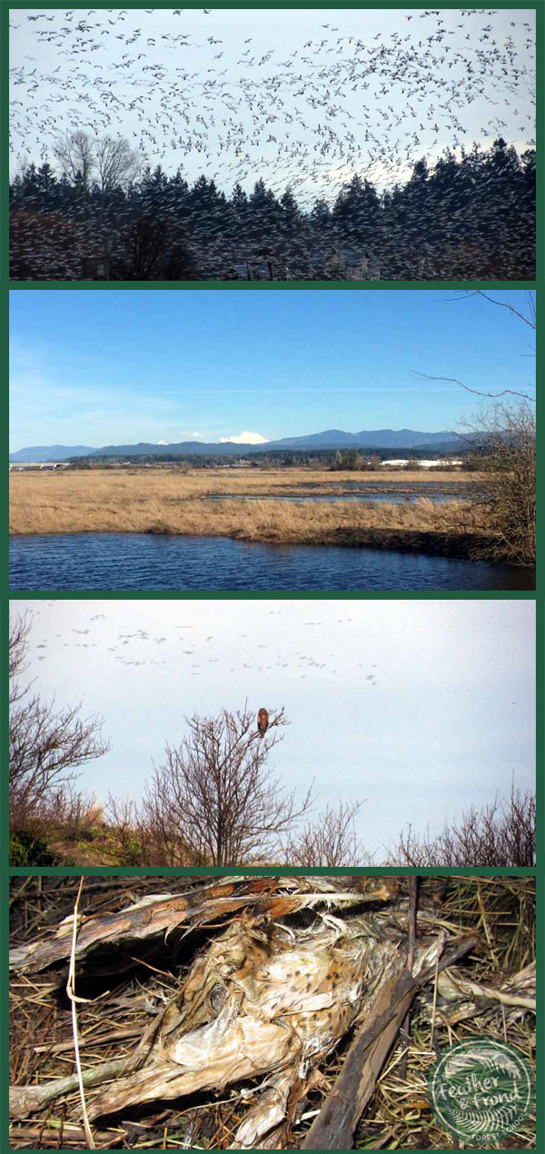 Many Snow Geese take flight, Kulshan in the distance, a Long-eared Owl about to go hunting, and a Barn Owl that didn't survive the winter...