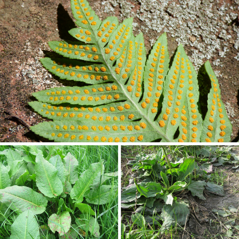 Got a Nettle sting?? Fern spores, Western dock, and Common Plantain can help ease your pain!