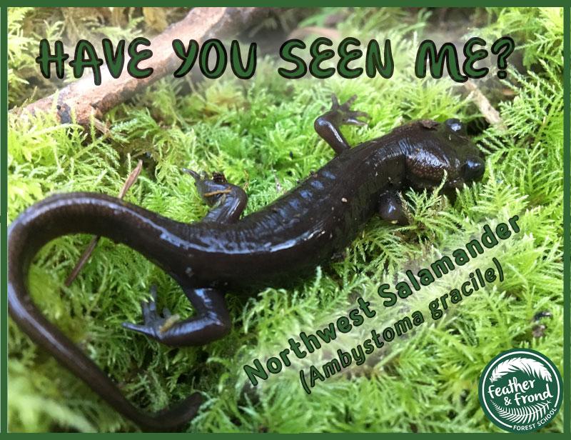 northwest-salamander-ambystoma-gracile