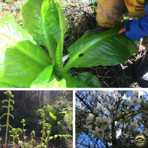 Stinky Skunk Cabbage, Lady Fern fiddleheads, and Cherry Blossoms!!