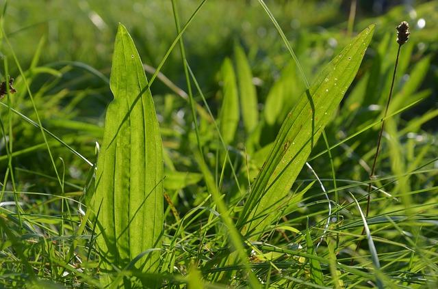 NarrowLeaf Plantain ( Plantago   lanceolata ) can be used in the same way as BroadLeaf Plantain