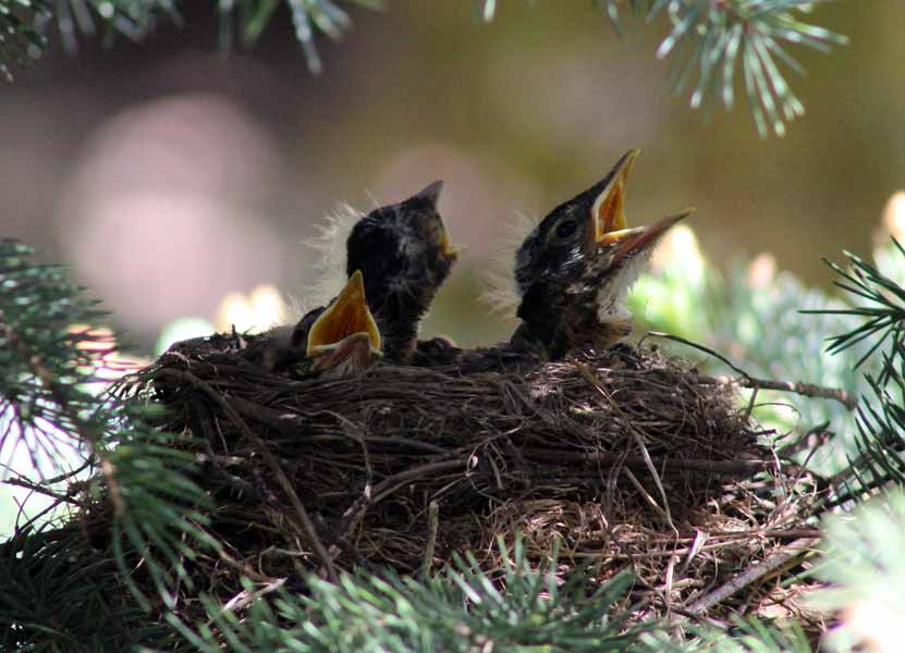 Young Robins begging for food