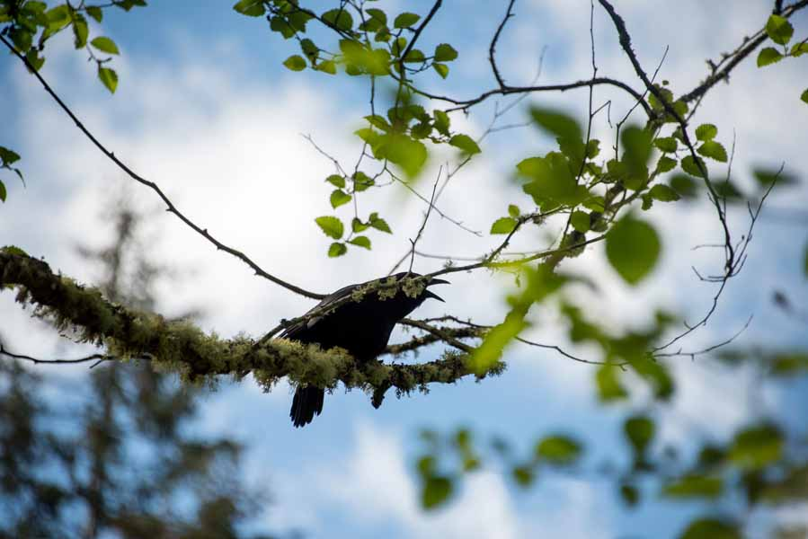 A Crow Calling