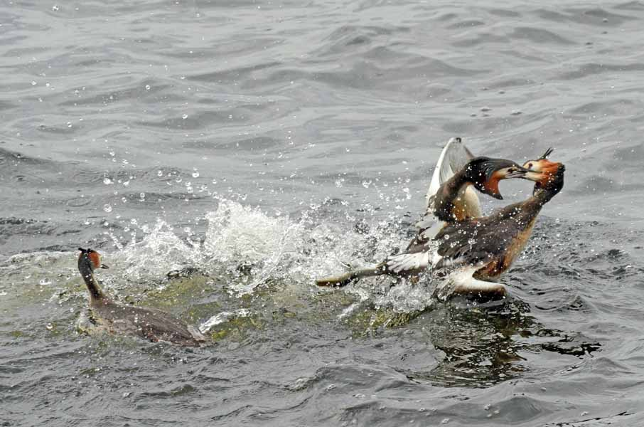 Territorial aggression amongst grebes