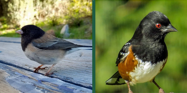 """It's likely that you've triggered A Junco or Towhee """"Bird Plow"""", """"Hook"""" or """"popcorn"""" at some point! We all have!"""