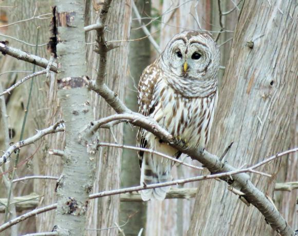"""parabolic"" bird alarms often lead to owl sightings!"