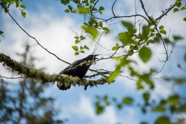 Pay attention to the voices of the crows, they reveal the stories of the forest!