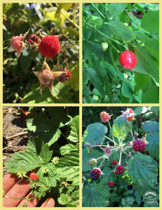 YUM! I so love living in the Pacific NW... especially during berry season!!! Do you know these wild berries that we tasted this week at Whatcom Falls?