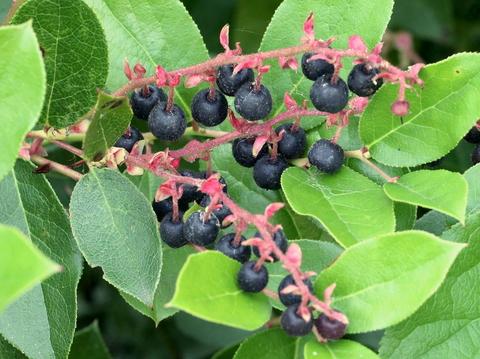 Salal Berries!