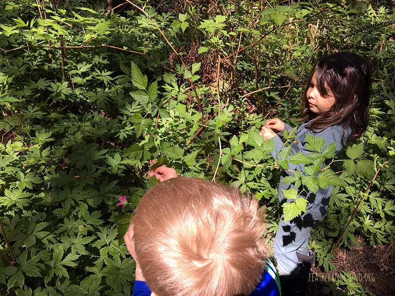 Harvesting Salmonberry flowers