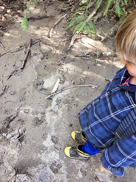 Raccoon tracks!