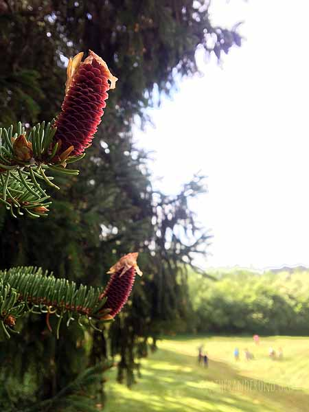 Signs of spring...  Young Spruce cones