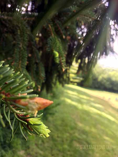 Mmm.. Spruce tips!