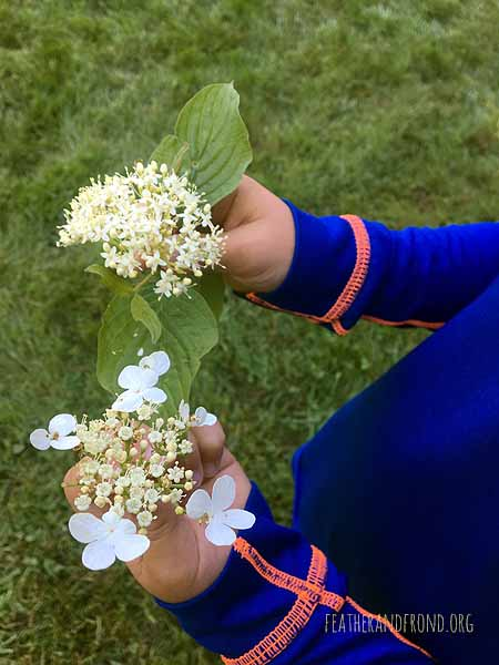Comparing the white flowers of Dogwood and Highbush Cranberry