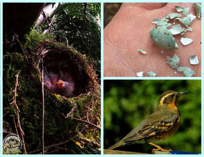 Cute Varied Thrush Babies! They successfully fledged!