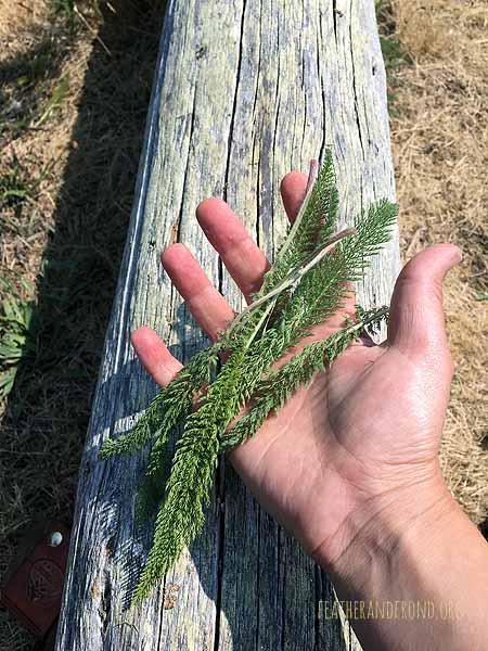 Yarrow has very distinct and feathery fern-like leaves