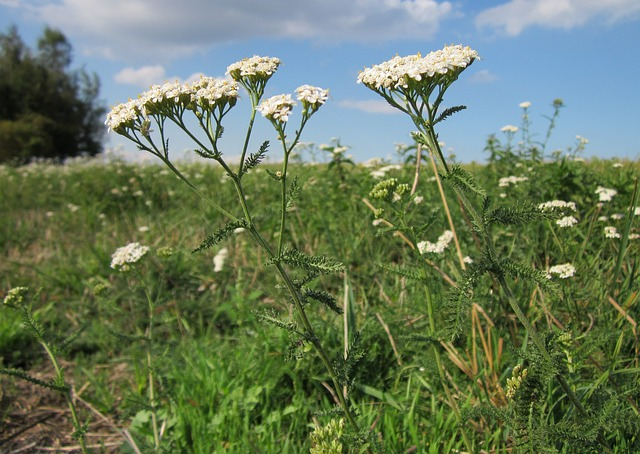 Yarrow leaves are very aromatic and grow alternately along the main stalk