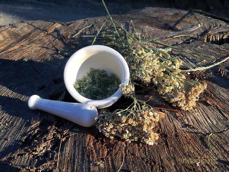 Thank you, Yarrow, for all of your healing medicinal properties!