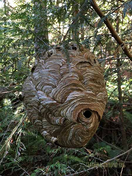 Bald-faced hornet nest.. so beautiful!